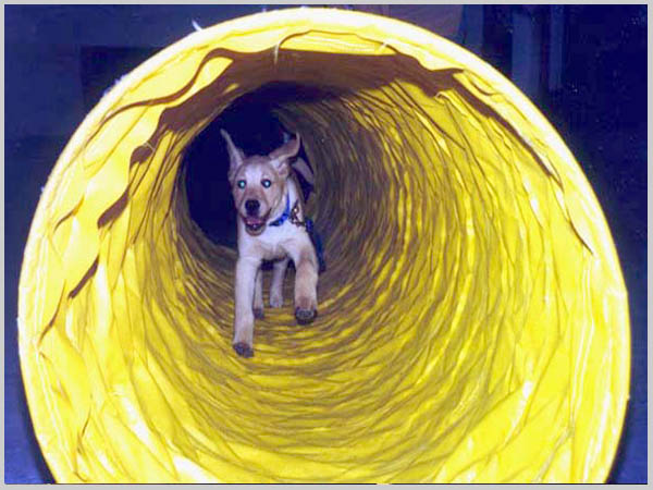 Puppy running through tube